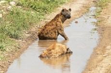 Tüpfel Hyänen Serengeti 2017-2-2