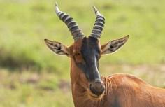 Topi-Serengeti 2017-1-2