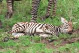 Zebra jung Serengeti 2017-1-2