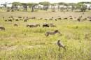 Adler und Zebras u Gnus im Hintergr Ndutu-Ngorongoro 2017-1-2