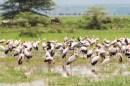 Afrikanische Nimmersatt-Lake manjara-2017-2-2