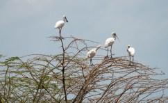 Afrikanischer Löffler Lake Manjara 2017-1-2