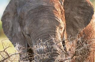 Elefant Serengeti 2017_3-2