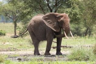 Elefant Tarangirei 2017-3-2