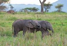 Elefanten Serengeti 2017-15-2