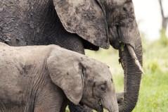 Elefanten Tarangirei 2017-1-2