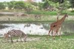 Giraffen u Zebras Tarangire 2017-1-2