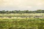 Gnus u Zebras Migration Ndutu 2017-2-2