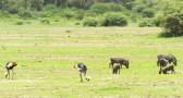 kronenkraniche und Warzenschweine Lake Manjara 2017-1-2
