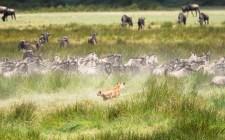 Löwe Gnus und zebras Ndutu-Ngorongoro 2017-3-2