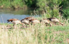 Nilgänse Serengeti 2017-1-2