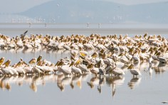 Pelikane-Lake Manjara-2017-1-2