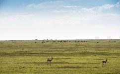 Thomson gazellen u Gnus Ngorongoro-Serengeti 2017-1-2