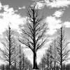 イチョウ枯れ木サムネ