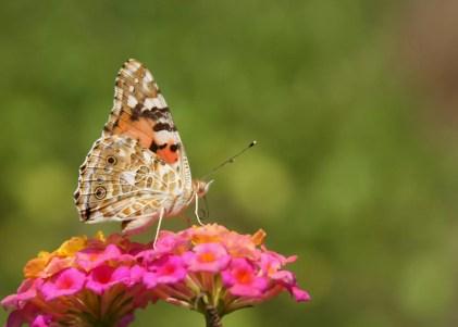 Butterfly_Garden_Moodbidri_Belavi5