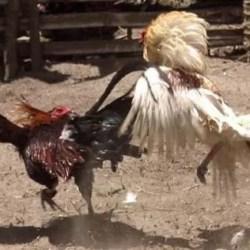 cock fight mangalore