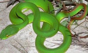 Cách sơ cứu khi bị rắn lục đuôi đỏ cắn