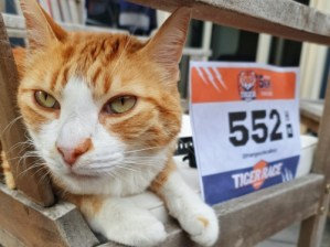 tiger race
