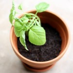 CSN Product Review, Growing Basil, Award!!