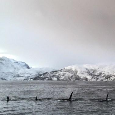 orca fins