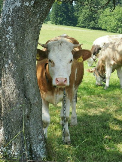 Wo die Kühe schöner sind als die Mädels beginnt das Allgäu...