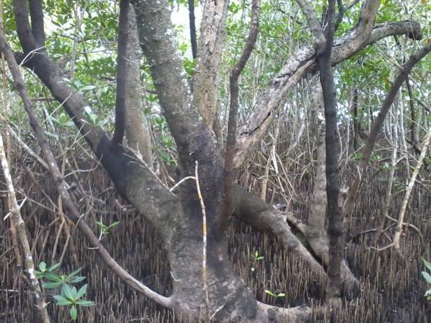 black mangrove (3)