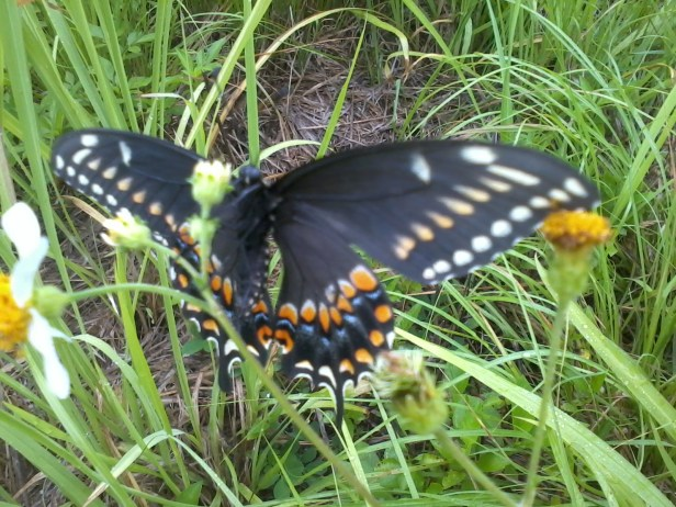 swallow tail (4)