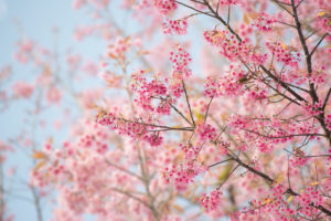 Mindfulness tips - image of blossoming tree in spring