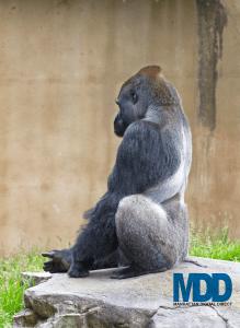 gorilla_zJlWxwY_