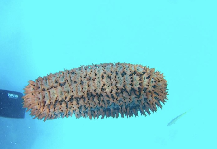 Sea Cucumbers are one of the many ocean life you will see at the Great Barrier Reef.