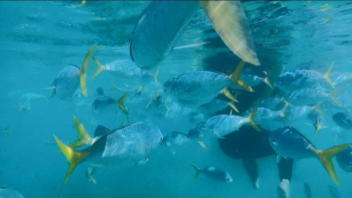You will see many schools of wish while snorkeling in the Whitsunday Islands.