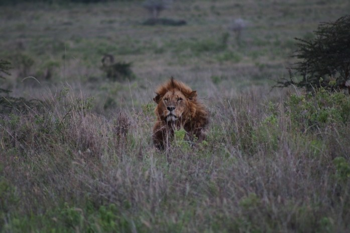 Watch lions hunt while on safari in Kenya.