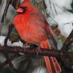 Central Park Bird B Male Northern Cardinal