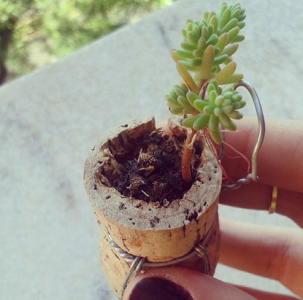 como plantar dentro de rolhas mini suculenta Como plantar dentro de rolhas   DIY
