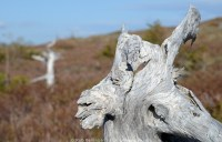 A whitened and weathered tree trunk against a background of brown grass. Gros Morne National Park, Newfoundland.