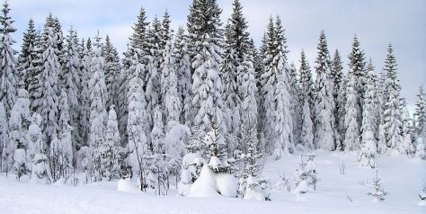 800px-spruce_trees_covered_in_heavy_snow