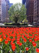 Here's a direct angle of the tulips.