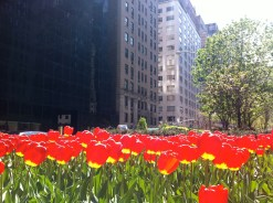 Here are some beautiful tulips at 59th and 2nd Avenue.
