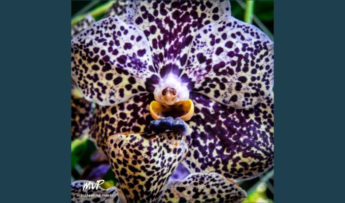Manifesting everyday wisdom: The Laughing Orchid