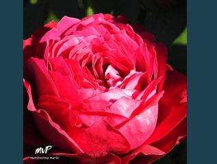 Manifesting Everyday Wisdom: The Wild Rose