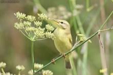 Felosa-musical (Phylloscopus trochilus)