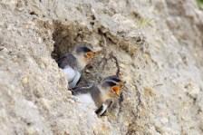 Andorinha-das-barreiras (Riparia riparia)