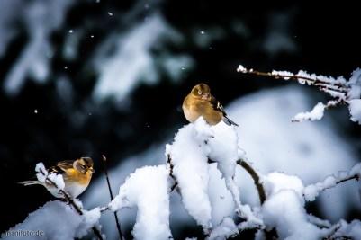 bergfinken am 31.1.2019