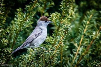 mönchsgrasmücke .:. 5. april 2019 .:. vögel in haus und garten