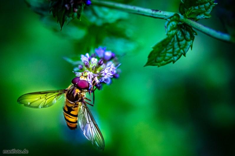 Ein im Garten aufgenommenes Insekt – mit Bestimmungsversuchen halte ich mich mangels Fachwissen lieber zurück …