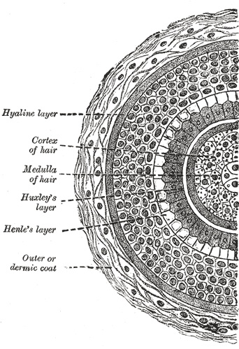 Hair Cross Section
