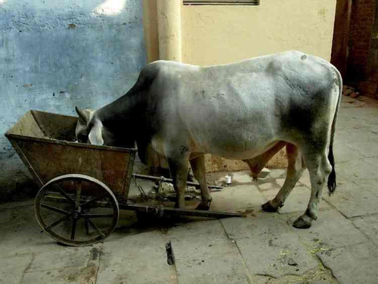 Βαρανάσι - Ινδία, Αγελάδες παντού. maninio.com