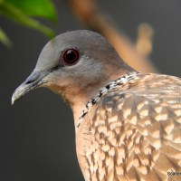 Birds We See Around: Spotted Doves (Spilopelia chinensis)