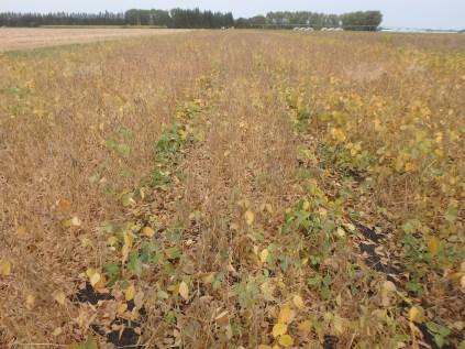 Team A soybeans at R7.5.