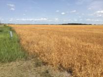 Field Peas on August 16.
